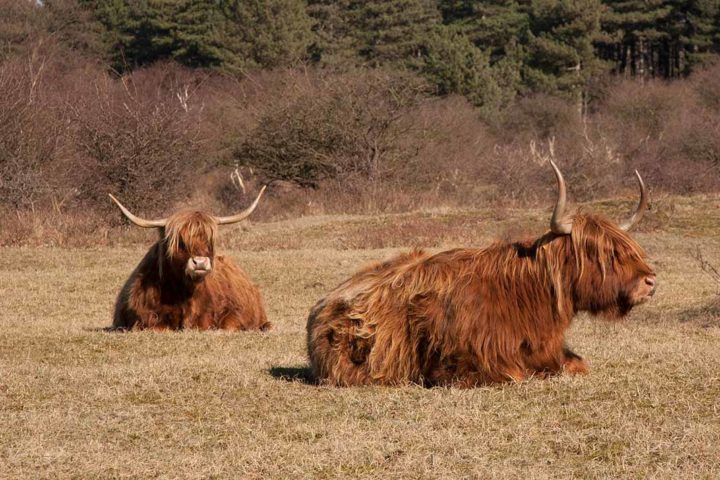 kennemerduinen scottish highlander nature connects