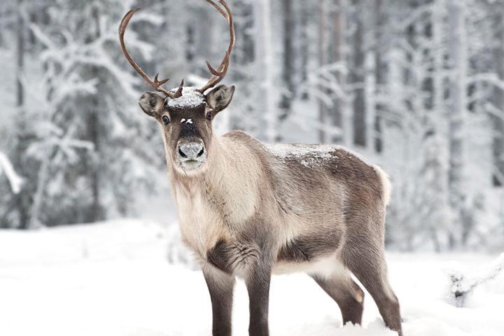 reindeer-Finland
